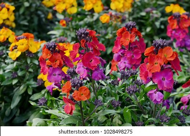 Beautiful colored Wallflowers
