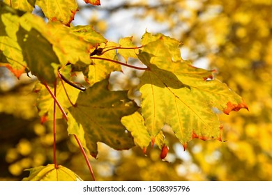 Beautiful colorful autumn leaves on tree. Colorful nature background and concept for autumn season.