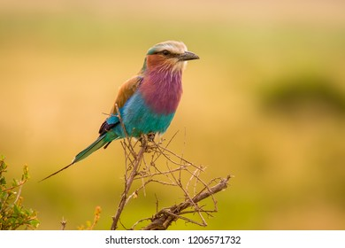 Beautiful and colorful bird Lilac-breasted roller (Coracias caudatus) from nature reserve Mara North Conservancy in Kenya. Magnificent bird with many beautiful colors in feather sitting on the branch.