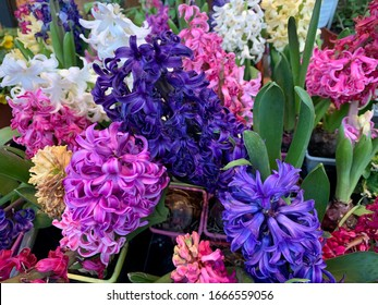 Beautiful colorful blooming Hyacinths close up, bulb spring plants, spring wallpaper background with bright hyacinths in vibrant pink and purple colors