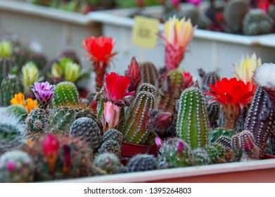 beautiful colorful blooming mini cacti