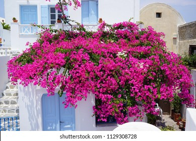 Beautiful and colorful bougainvillea flowers. Traditional village Oia in Santorini Island, Greece.