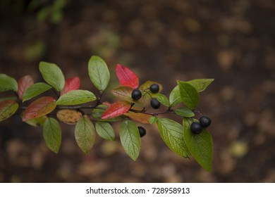 Beautiful colorful branch of shiny cotoneaster