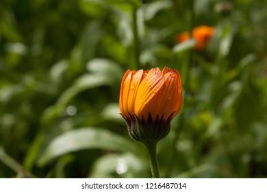 Beautiful colorful calendula flower