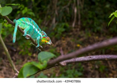 Beautiful colorful chameleon sitting on the branch in Madagascar, Africa