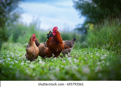 Beautiful colorful cockerel and chicken on a background of juicy green clover and blue sky