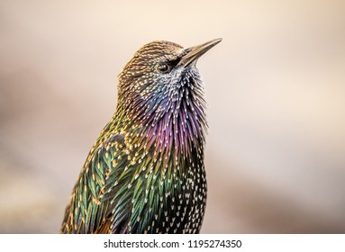 Beautiful, colorful Common European Starling looks at the camera in a profile portrait shot, from the chest up. Feathers are rainbow colored and iridescent. Plain, simple, minimal blurry background.