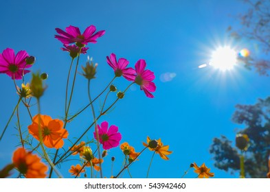 The beautiful colorful Cosmos flower in garden on sunshine day