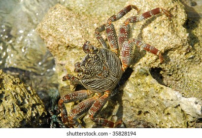 beautiful and colorful crab walking on a coral reef stone