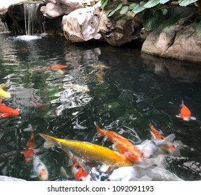 Beautiful colorful cranberry fish and other fish are swimming in the pond and some popping up on the water to eat food.Small waterfall is far away .Soft colorful water in the pond and blur background