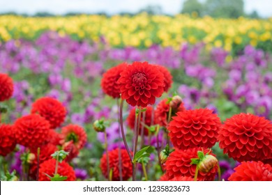 Beautiful and colorful dahlias in a field of flowers in the Netherlands.