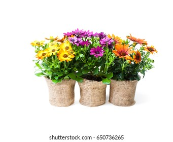 beautiful  colorful daisy flowers in small pots decorated with sackcloth isolated on white