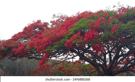 Beautiful and colorful flamboyant tree