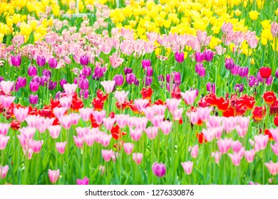Beautiful colorful flowerbed of tulips in the park