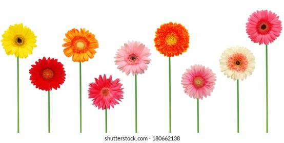 Beautiful colorful gerbers (gerbera daisy) isolated