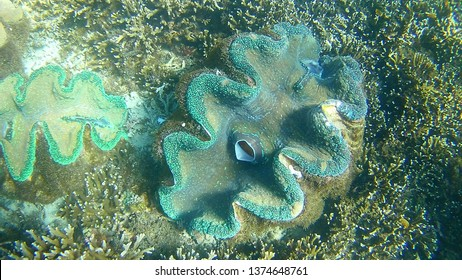 Beautiful colorful giant clam finded while snorkeling in blueclear diving spot called sunken cemetery during summer holidays in paradisiac Camiguin the Philippines