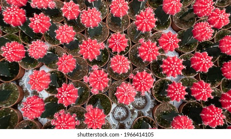 Beautiful Colorful Gymnocalycium mihanovichii grafted cactus cactus on pot in the garden.Selective focus Gymnocalycium grafted cactus or moon cactus. - Shutterstock ID 1966414105