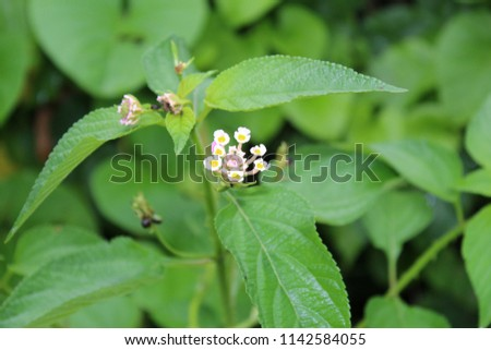 Beautiful Colorful Hedge Flower Weeping Lantana Stock Photo Edit