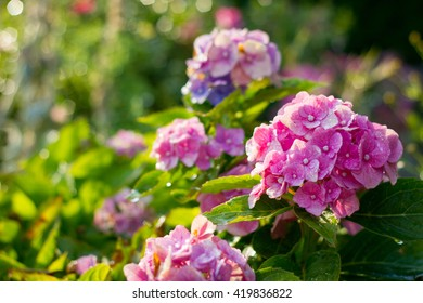 Beautiful colorful hydrangea in the sunset in the garden