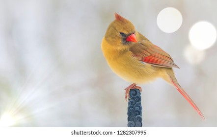 Beautiful, colorful Kentucky female cardinal in winter with round light bokeh and rays on designed pole.