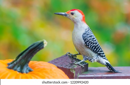 Beautiful colorful Kentucky red bellied woodpecker bird with red head, creamy fall color bokeh and pumpkin close up Urban wildlife photography