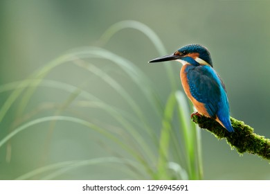 Beautiful and colorful kingfisher (Alcedo atthis) perched on a branch covered in moss, looks toward the water of the river in search of fish to catch.