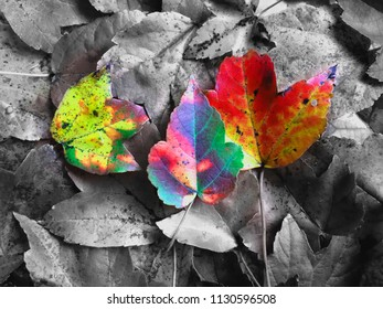 Beautiful colorful leaves on top of Black and White image of the leaves. Conceptual image for autumn.