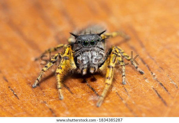 beautiful-colorful-male-phidippus-mystac