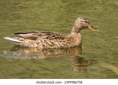 Beautiful colorful Mallard wild duck (Anas platyrhynchos, Anatidae) Female hen waterbird with brown speckled plumage in green waters of lake. South Park, Sofia, Bulgaria. Natural scene, wildlife.