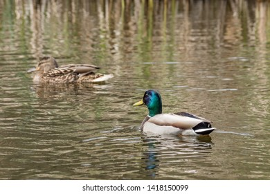 Beautiful colorful Mallard wild duck (Anas platyrhynchos, Anatidae) Male waterbird with glossy green head and yellow bill in waters of lake. South Park, Sofia, Bulgaria. Natural scene, wildlife.