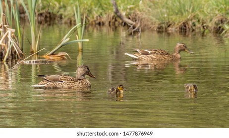 Beautiful colorful Mallard wild duck (Anas platyrhynchos, Anatidae) Female hen waterbird and cute little baby duckling with brown speckled plumage in green waters of lake. Natural scene, wildlife.
