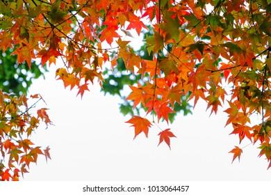 Beautiful colorful Maple Leaf in Japan Autumn