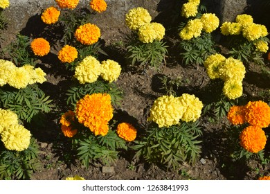 Beautiful colorful  marigold flower on ground.
