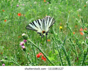 Beautiful colorful meadow butterfly species swallowtail their appearance and grace, makes beautiful and very ordinary meadow landscape