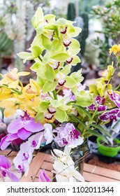 Beautiful colorful mix of phalaenopsis orchids cultivated in greenhouse