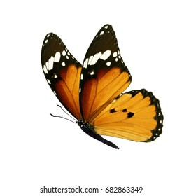 Beautiful colorful monarch butterfly isolated on white background.