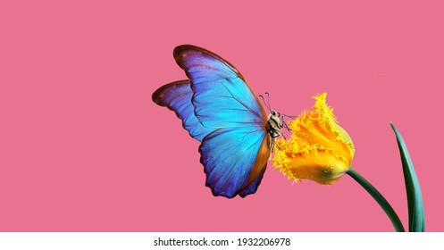 Beautiful colorful morpho butterfly on a flower on a pink background. Tulip flower in water drops isolated on pink. Tulip bud and butterfly.