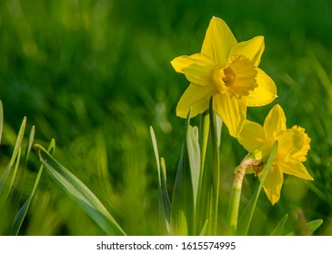 Beautiful colorful narcissus or Daffodil close up evening light. Narcissus is a genus of predominantly spring perennial plants of the amaryllis family, Amaryllidaceae.