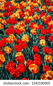 Beautiful colorful orange tulips flowers bloom in spring garden.Decorative wallpaper with yellow tulipa flower blossom in springtime.Vibrant instagram film filter