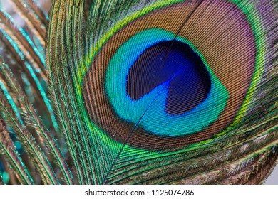 Beautiful and colorful peacock feather.