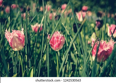 Beautiful colorful pink tulips flowers bloom in spring garden.Decorative wallpaper with tulipa flower blossom in springtime.Instagram fading film filter