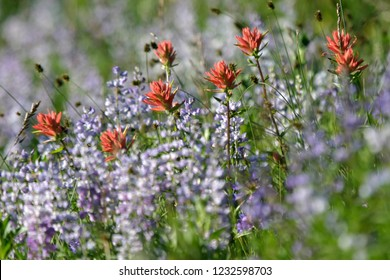 Beautiful colorful purple and red flowering wildflower in full bloom, wild flower closeup macro photo, Split-leaved indian paintbrush and silky lupine, Hells Canyon NRA, Idaho, USA