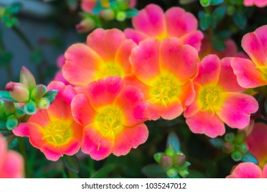 Beautiful colorful Purslane flower in the garden, use for naturebackground