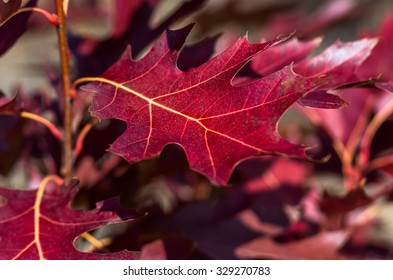 Beautiful colorful red leaves in the forest background