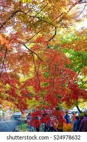 Beautiful Colorful Red Maple Leaf Vibrant Tree in Japan Travel Autumn Season