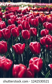Beautiful colorful red tulips flowers bloom in spring garden.Decorative wallpaper with tulipa flower blossom in springtime.Vibrant colors and high conrast