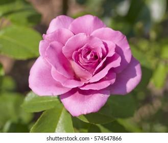 Beautiful colorful rose in garden