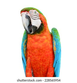 Beautiful colorful Scarlet Macaw parrot bird on white background