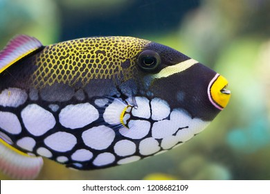 Beautiful colorful spotty tropical aquarium fish. Clown triggerfish (Balistoides conspicillum),  bigspotted triggerfish, are demersal marine fish of the family Balistidae