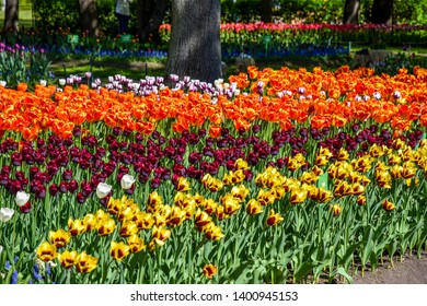 Beautiful colorful spring blooming tulips view. Spring blooming tulip flowers. Tulip festival in Saint Petersburg, Russia. Spring blooming tulips